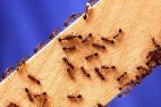 Как муравьи появляются в квартире
