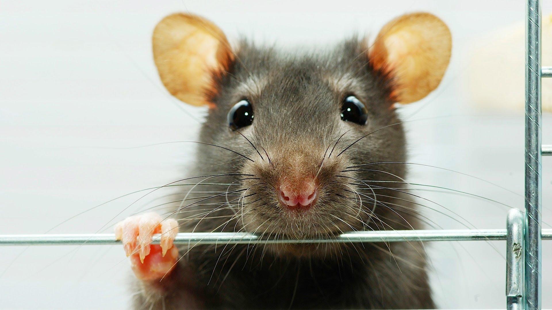 Кинг, картинка смешной мыши